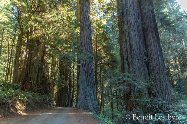 Foret de Redwood
