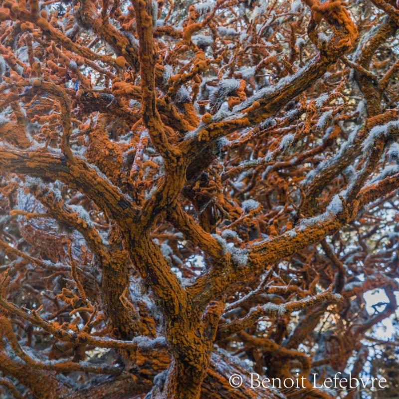 Étrange type de lichen trouvé sur l'arbre.