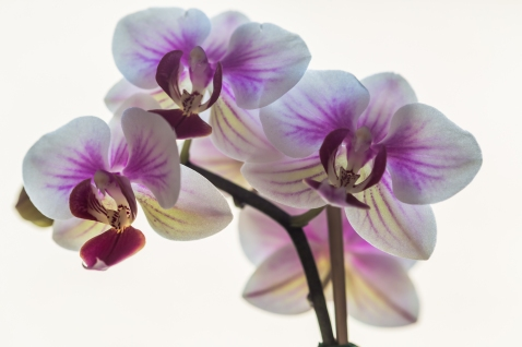 orchidees01